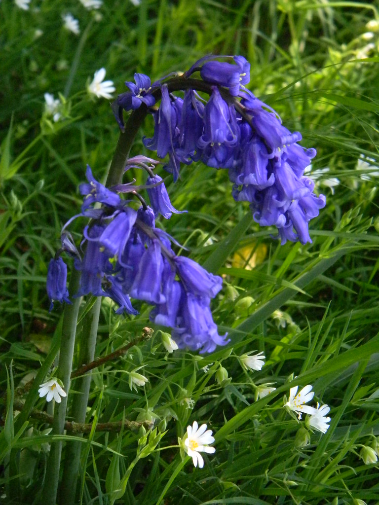 Bluebells in stichwort Ockley to Warnham I think this is the bluest bluebell I've ever photographed. Well done me!