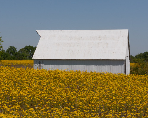 field barn rural canon illinois spring midwest farm barns stlouis may troy springtime rapeseed 2011 rebelxs eos1000d