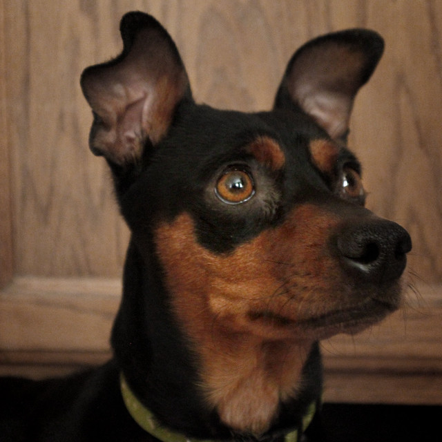 terrier puppy dog ready for adoption manchester terrier miniature