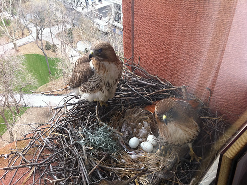 Bobby and Violet, NYU's Red-tailed Hawks