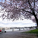 Cherry blossoms in Waterfront Park-7-6