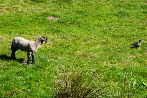 Lamb and chukar