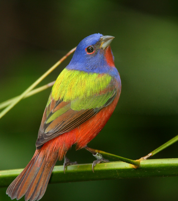 painted bunting at corkscrew swamp fl flickr photo