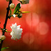 Cherry Blossoms_櫻花