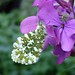 Orange Tip Butterfly - female Honesty (lunaria annua)