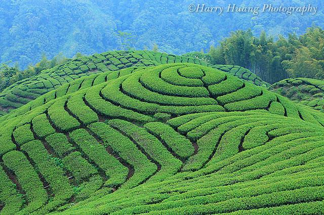 软鞍茶园除了大鞍竹海风景区的茶园,竹林景观外,亦和和杉林溪的茶区
