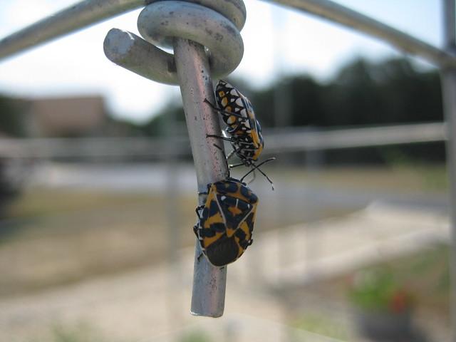 Beetle on Tomato plants?