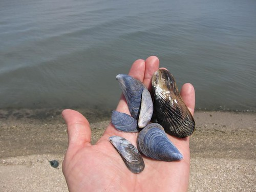 blue mussels, purple IMG_5936