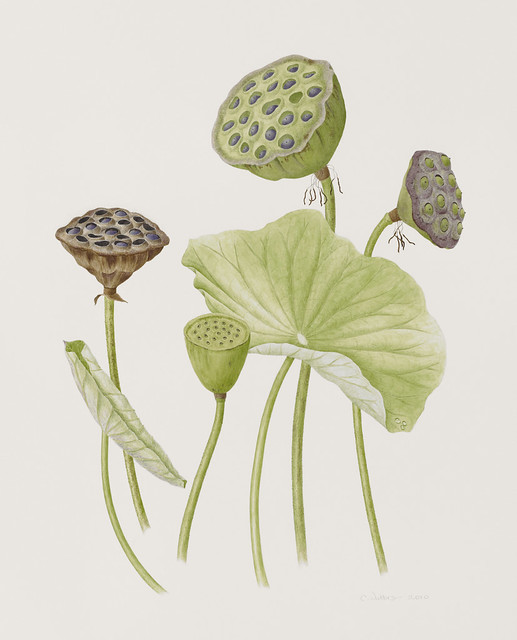 "Catherine Watters, Nelumbo nucifera seedpods clockwise from left 'Lutea', 'Perry's Super Star', 'Charles Thomas', and 'Empress', 2010. Lily Pool Terrace. Watercolor on Strathmore 500 series Bristol vellum surface. 20"" x 16""."