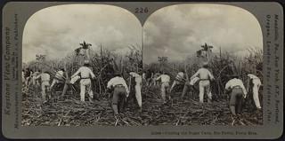 Cutting the sugar cane, Porto Rico