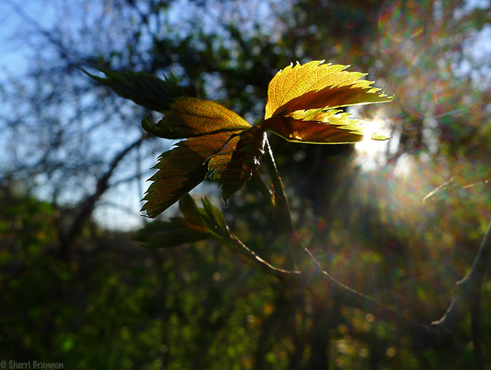 leaf at sunset