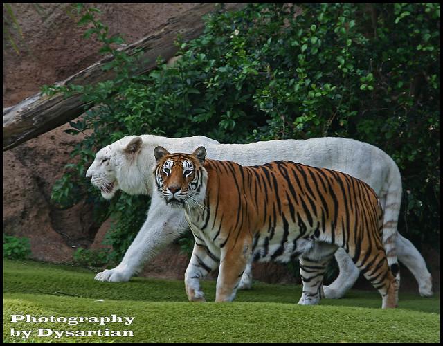 Tiger hybrid - photo#29