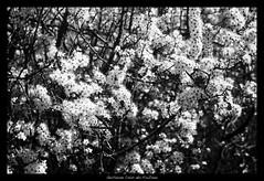 Prunelier, Prunus spinosa, floraison
