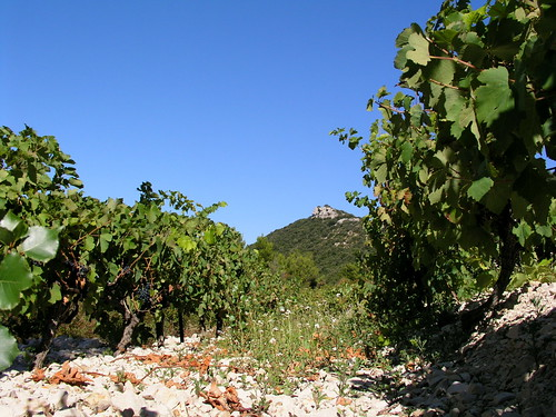 a very poor vineyard on hillside
