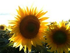sunflowers 2 - Photo of Auty