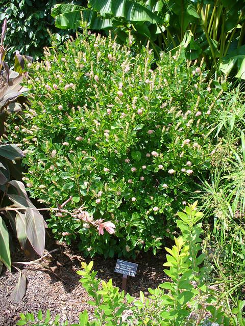 Clethra alnifolia 'Ruby Spice' 1b