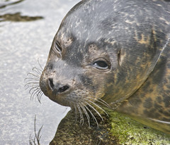 Cute young sealion