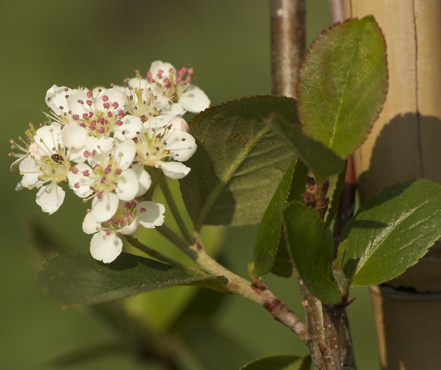 Aronia blossom 1