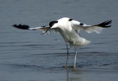 albatross(0.0), stilt(0.0), gull(0.0), egret(0.0), animal(1.0), charadriiformes(1.0), wing(1.0), fauna(1.0), shorebird(1.0), beak(1.0), bird(1.0), seabird(1.0),
