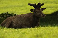 Red Deer 9