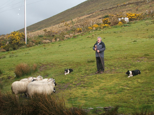 Irish shepherd, sheep and dogs | Flickr - Photo Sharing!