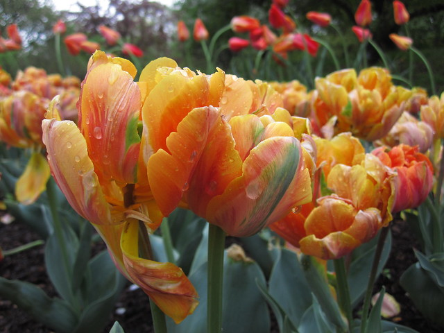 Tulipa 'Orange Princess' blooms on Lily Pool Terrace. Photo by Rebecca Bullene.