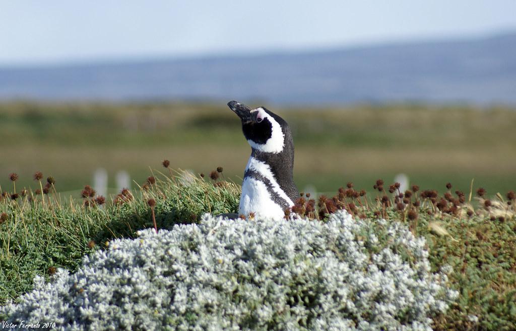 Pingüinera Seno Otway - Punta Arenas - Patagonia