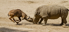 cattle-like mammal, animal, wildebeest, horn, rhinoceros, fauna, savanna, safari, wildlife,