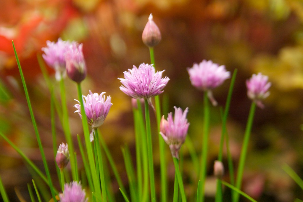 chives  258