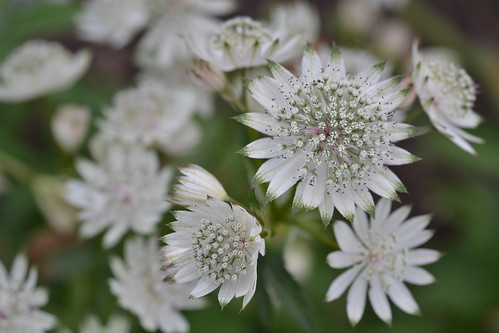 ASTRANTIA major ssp. involucrata 'Jumble Hole'