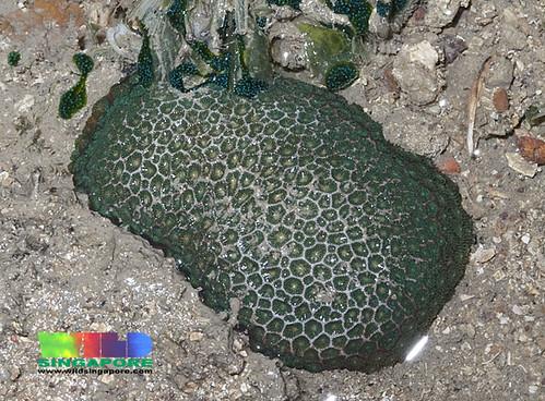 Neat hexa coral (Pseudosiderastrea tayami)
