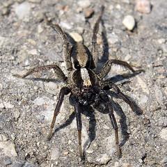 arthropod(1.0), animal(1.0), spider(1.0), invertebrate(1.0), macro photography(1.0), fauna(1.0), close-up(1.0), wolf spider(1.0),