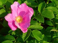 garden roses(0.0), rosa 㗠centifolia(0.0), plant(0.0), rosa multiflora(0.0), rosa rugosa(0.0), annual plant(1.0), shrub(1.0), floribunda(1.0), flower(1.0), rosa gallica(1.0), rosa rubiginosa(1.0), rosa canina(1.0), flora(1.0), rosa acicularis(1.0), petal(1.0),