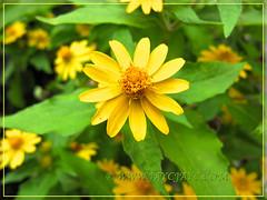 Melampodium divaricatum (Butter Daisy) - new addition to our garden in December 2011