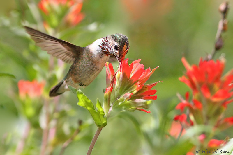 Calliope-Hummingbird-051014