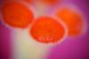 hibiscus pistils - macro