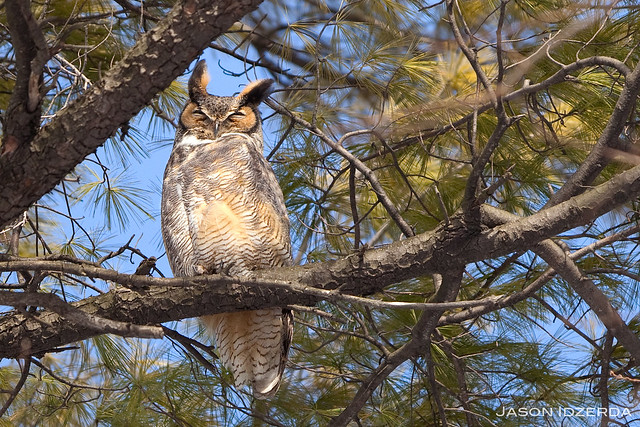 Daddy Great Horned