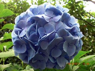 Hydrangea taken by BeeLing01