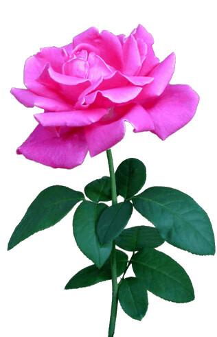 Pink rose on stem clipart, lge 13 cm | Flickr - Photo Sharing!