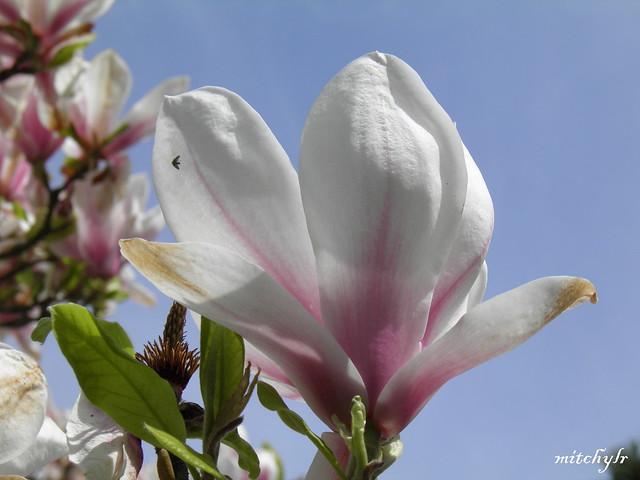 Magnificent Magnolia 1