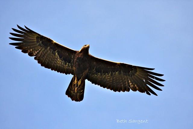 Golden Eagle In Flight Flickr Photo Sharing