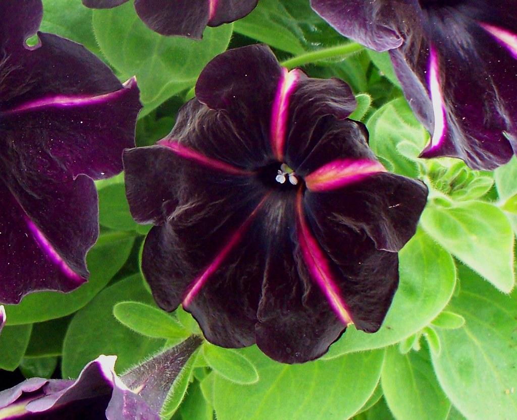 Петуния крупноцветковая махровая выращивание 33
