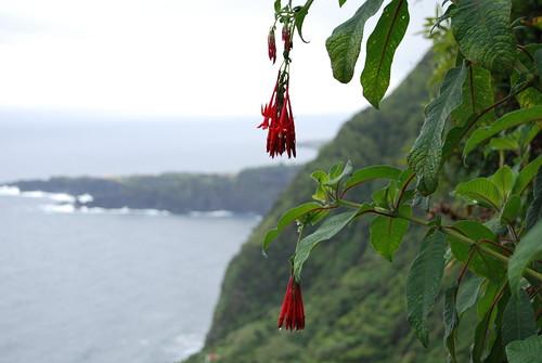 Fuchsia boliviana