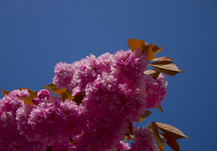 Pink Blossom, Blue Sky