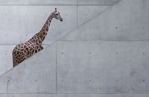 A Natural History of the Giraffe by yushimoto_02 [christian]
