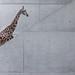 A Natural History of the Giraffe by yushimoto_02 [christian]
