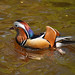 Mandarin duck On the Llangollen canal