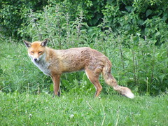 animal, red wolf, mammal, jackal, grey fox, fauna, red fox, dhole, kit fox, coyote, wildlife,