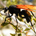 Tarantula Wasp - Photo (c) Brian Van de Wetering, some rights reserved (CC BY-NC-ND)