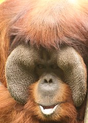 monkey(0.0), nose(1.0), animal(1.0), brown(1.0), snout(1.0), orangutan(1.0), mammal(1.0), great ape(1.0), fauna(1.0), ape(1.0),